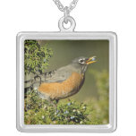 Male American Robin eating juniper tree Silver Plated Necklace