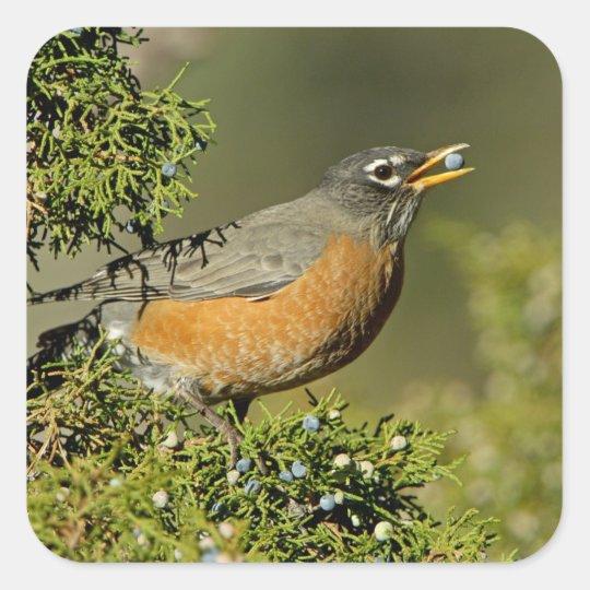 Male American Robin eating juniper tree Square Sticker