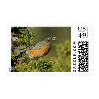 Male American Robin eating juniper tree Stamp