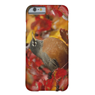 Male American Robin in Black Hawthorn 2 Barely There iPhone 6 Case