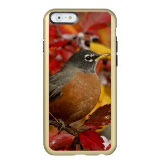 Male American Robin in Black Hawthorn 2 Incipio Feather Shine iPhone 6 Case