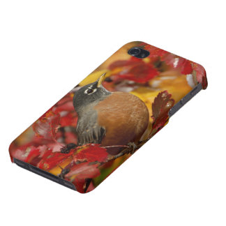 Male American Robin in Black Hawthorn 2 iPhone 4 Cover