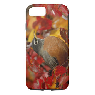 Male American Robin in Black Hawthorn 2 iPhone 7 Case