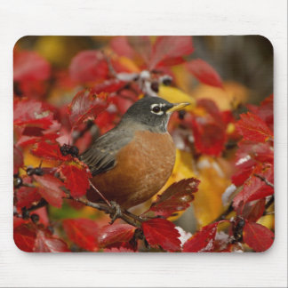 Male American Robin in Black Hawthorn 2 Mouse Pad