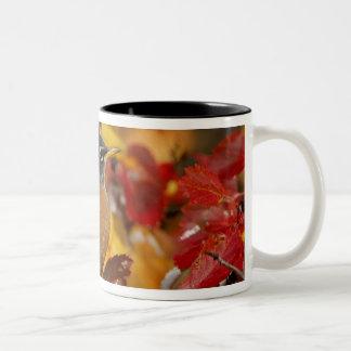Male American Robin in Black Hawthorn 2 Mug