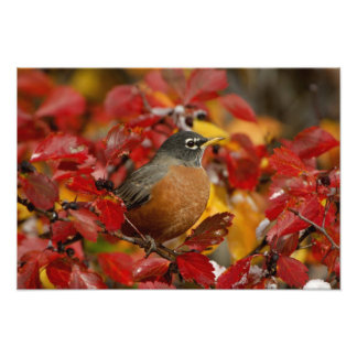 Male American Robin in Black Hawthorn 2 Photo Print