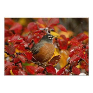 Male American Robin in Black Hawthorn 2 Photo Print