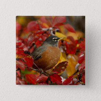 Male American Robin in Black Hawthorn 2 Pinback Button