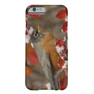 Male American Robin in Black Hawthorn Barely There iPhone 6 Case