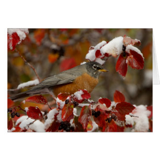 Male American Robin in Black Hawthorn Cards