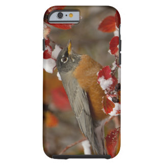 Male American Robin in Black Hawthorn Tough iPhone 6 Case