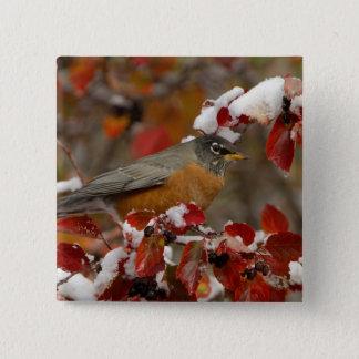 Male American Robin in Black Hawthorn Pinback Button