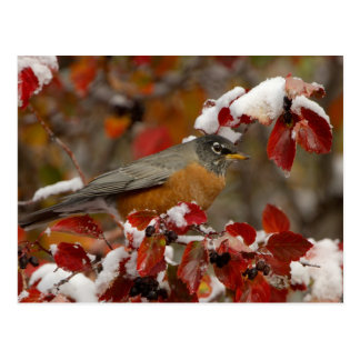 Male American Robin in Black Hawthorn Postcards