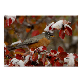 Male American Robin in Black Hawthorn Poster
