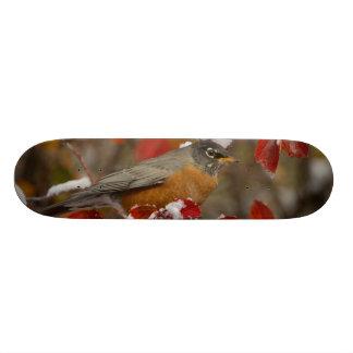 Male American Robin in Black Hawthorn Skateboard Deck