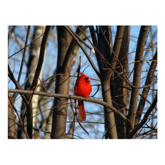 Male and female Cardinal Postcard