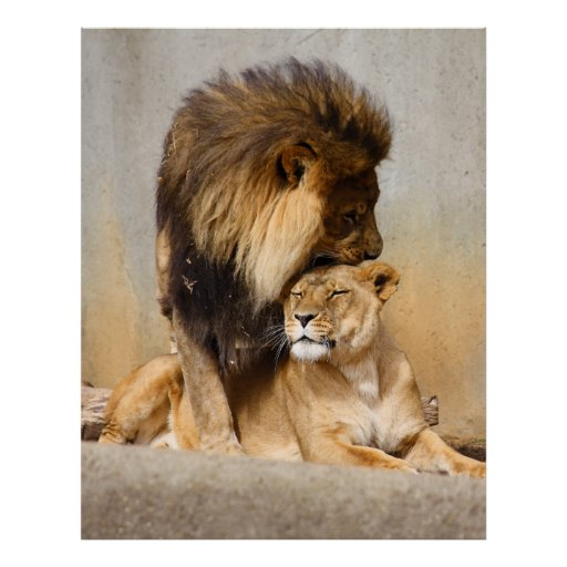 Male and female lion in love poster zazzle