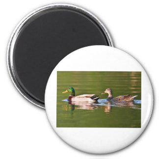 Male and Female Mallard Ducks Swimming 2 Inch Round Magnet