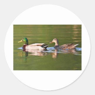 Male and Female Mallard Ducks Swimming Classic Round Sticker