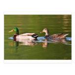 Male and Female Mallard Ducks Swimming Postcard