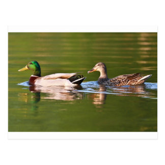 Male and Female Mallard Ducks Swimming Postcard