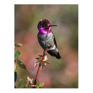 Male Anna's Hummingbird Postcard