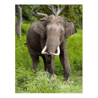 Male asiatic elephant postcard