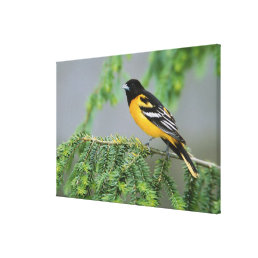 Male Baltimore Oriole, Icterus galbula, Male Canvas Print