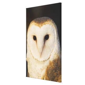Male Barn Owl (Tyto alba), USA. Canvas Print