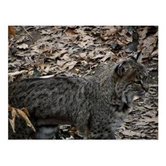 Male Bobcat Postcard