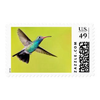 Male broad-billed hummingbird in flight postage