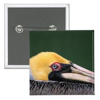 Male Brown Pelican (Pelecanus occidentalis) in 2 Inch Square Button