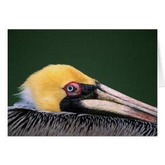 Male Brown Pelican (Pelecanus occidentalis) in Card