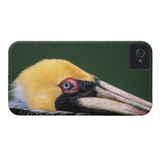 Male Brown Pelican (Pelecanus occidentalis) in iPhone 4 Cases