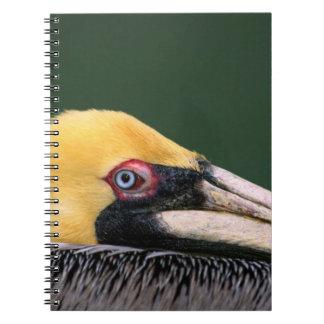 Male Brown Pelican (Pelecanus occidentalis) in Notebook