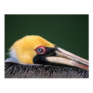 Male Brown Pelican (Pelecanus occidentalis) in Postcard