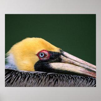 Male Brown Pelican (Pelecanus occidentalis) in Poster