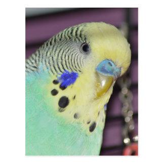Male Budgie/ Parakeet Postcard
