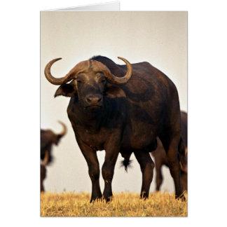 Male buffalo greeting cards