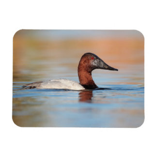 male canvasback duck rectangular photo magnet