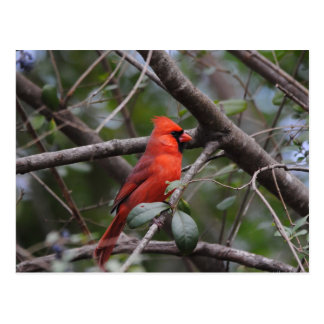 Male Cardinal 2 Postcard