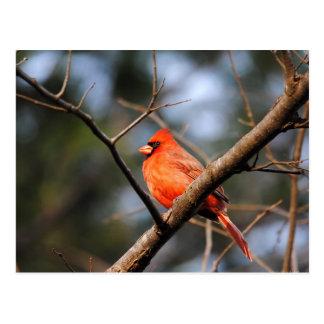 Male Cardinal 5 Postcard