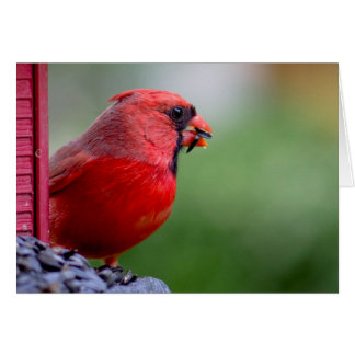 male cardinal at feeder in the Spring Card