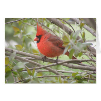 Male Cardinal Card (Blank)