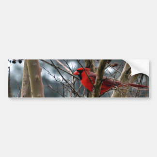 Male Cardinal Concentrating Bumper Stickers