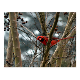 Male Cardinal Playing Funny Post Card