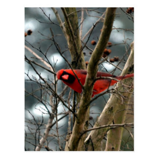 Male Cardinal Playing Funny Postcard