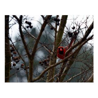 Male Cardinal still Playing Funny Postcard