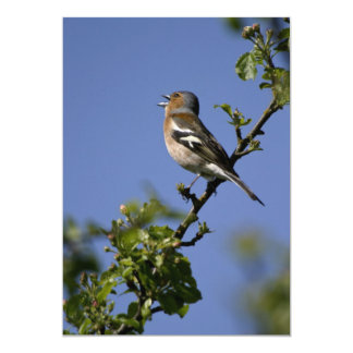 Male Chaffinch Singing Invitation
