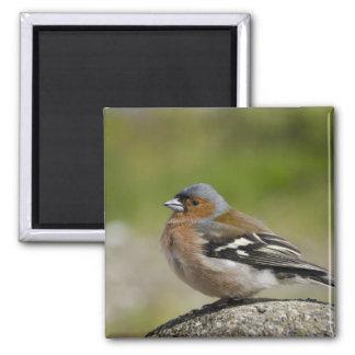 Male Chaffinch (WILD: Fringilla coelebs) Magnet